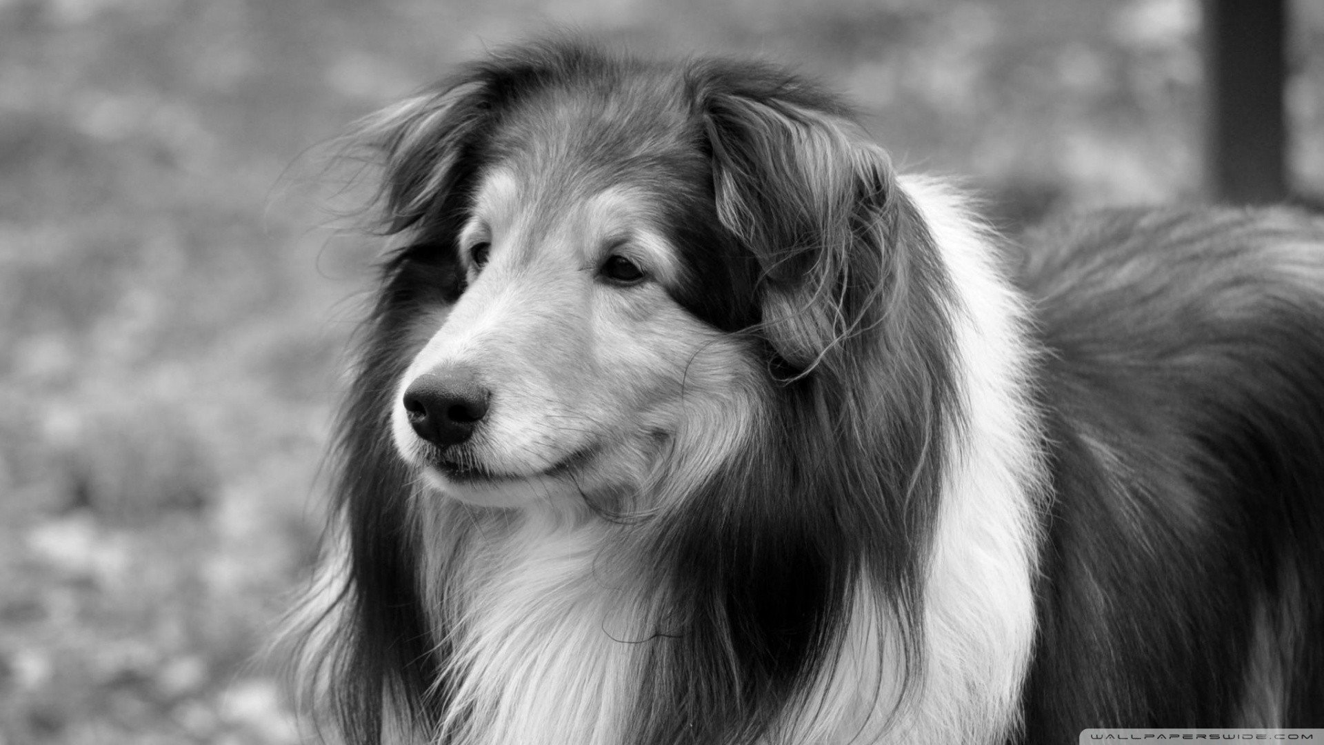 dog animals collie wallpapers lassie canine animal cat contrast wallpapersafari quality