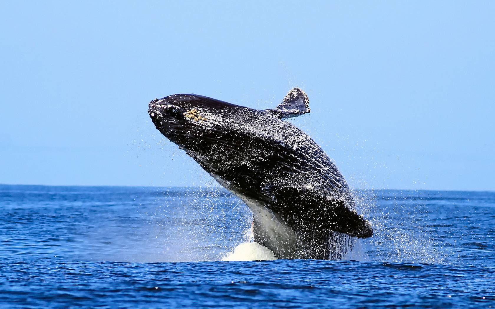 Humpback Whale Wallpapers 1680x1050