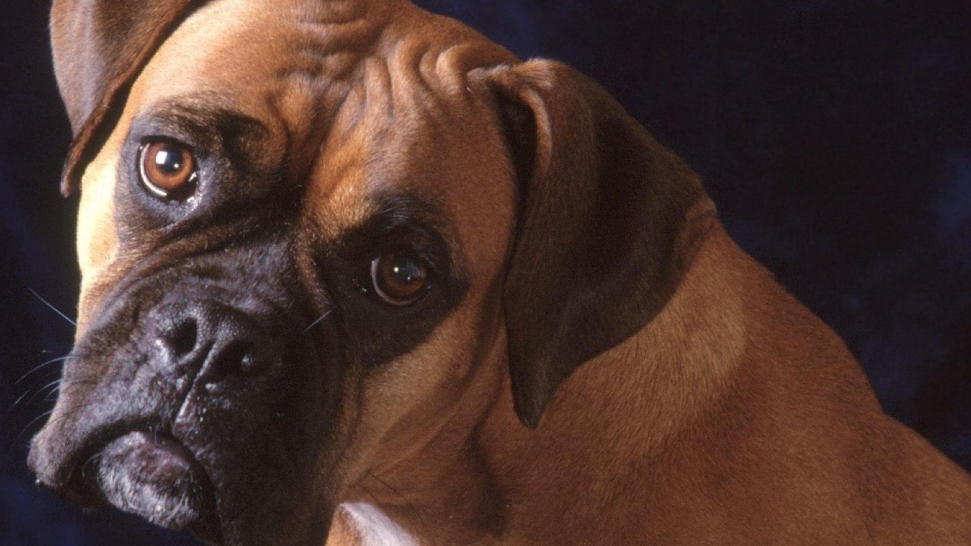 boxer puppy wallpaper wallpapersafari
