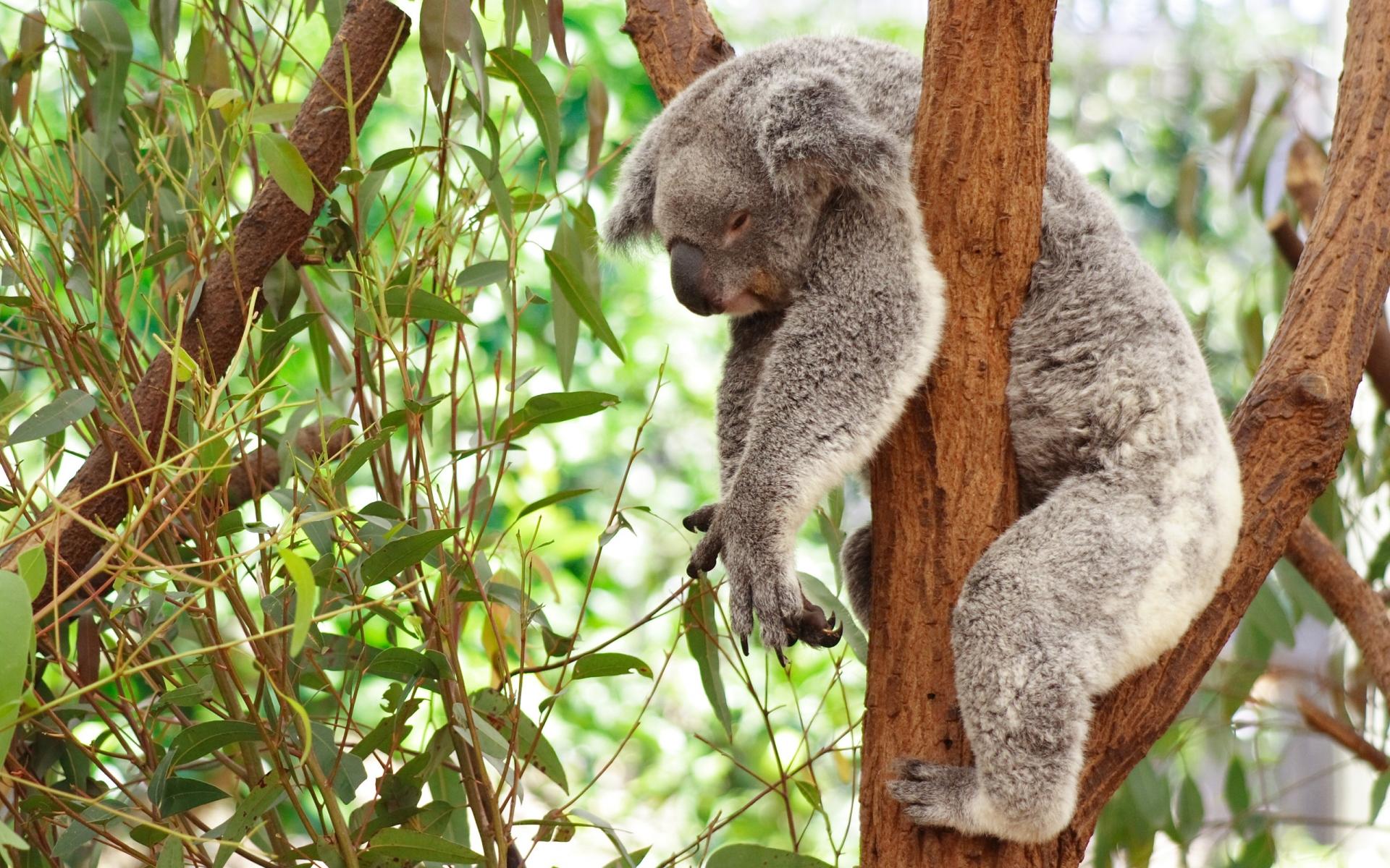 Koala Baby Wallpaper Koala Wallpaper 1920x1200