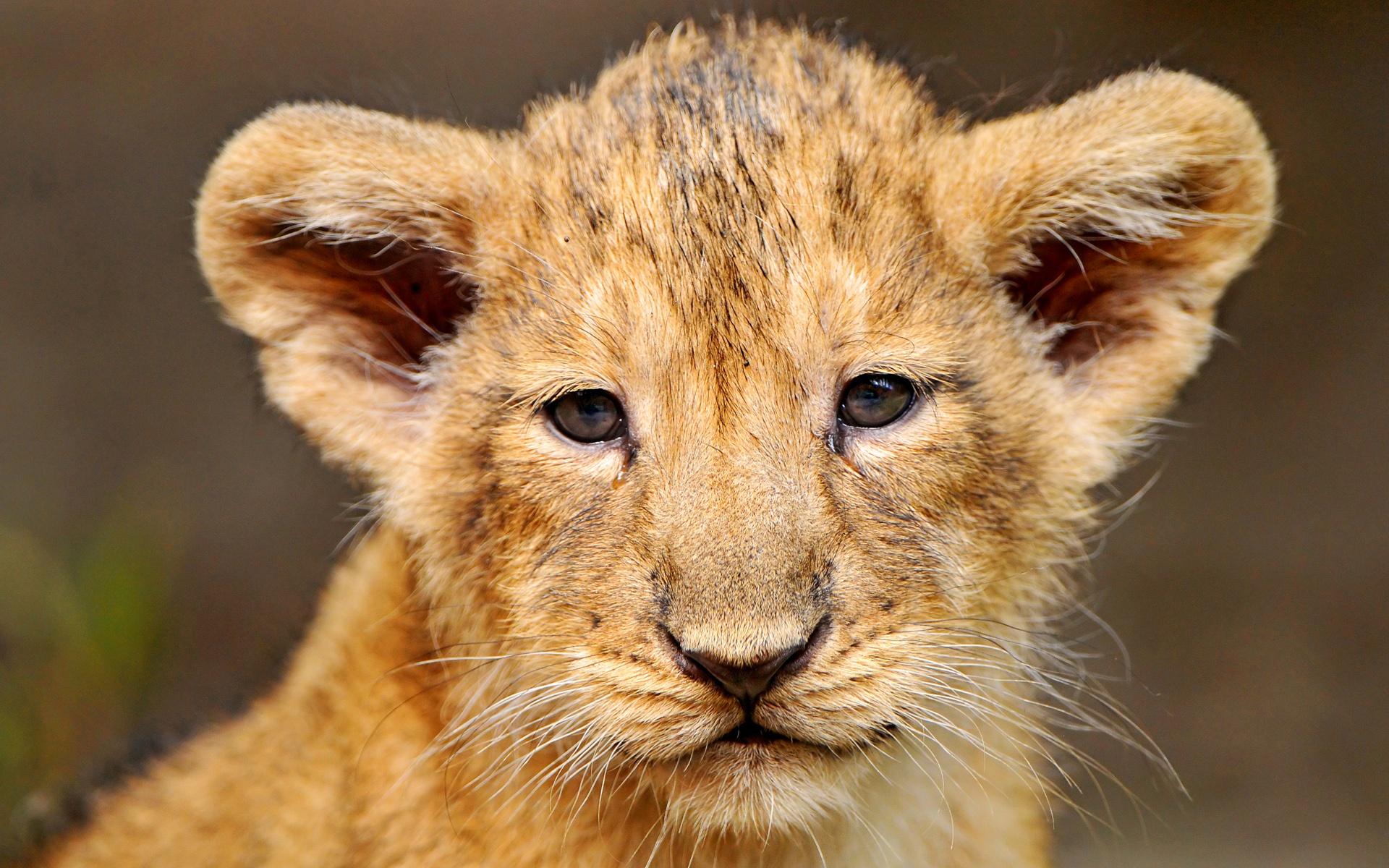 Portrait of a lion cub 1920x1200 wallpaper download page 901764 1920x1200