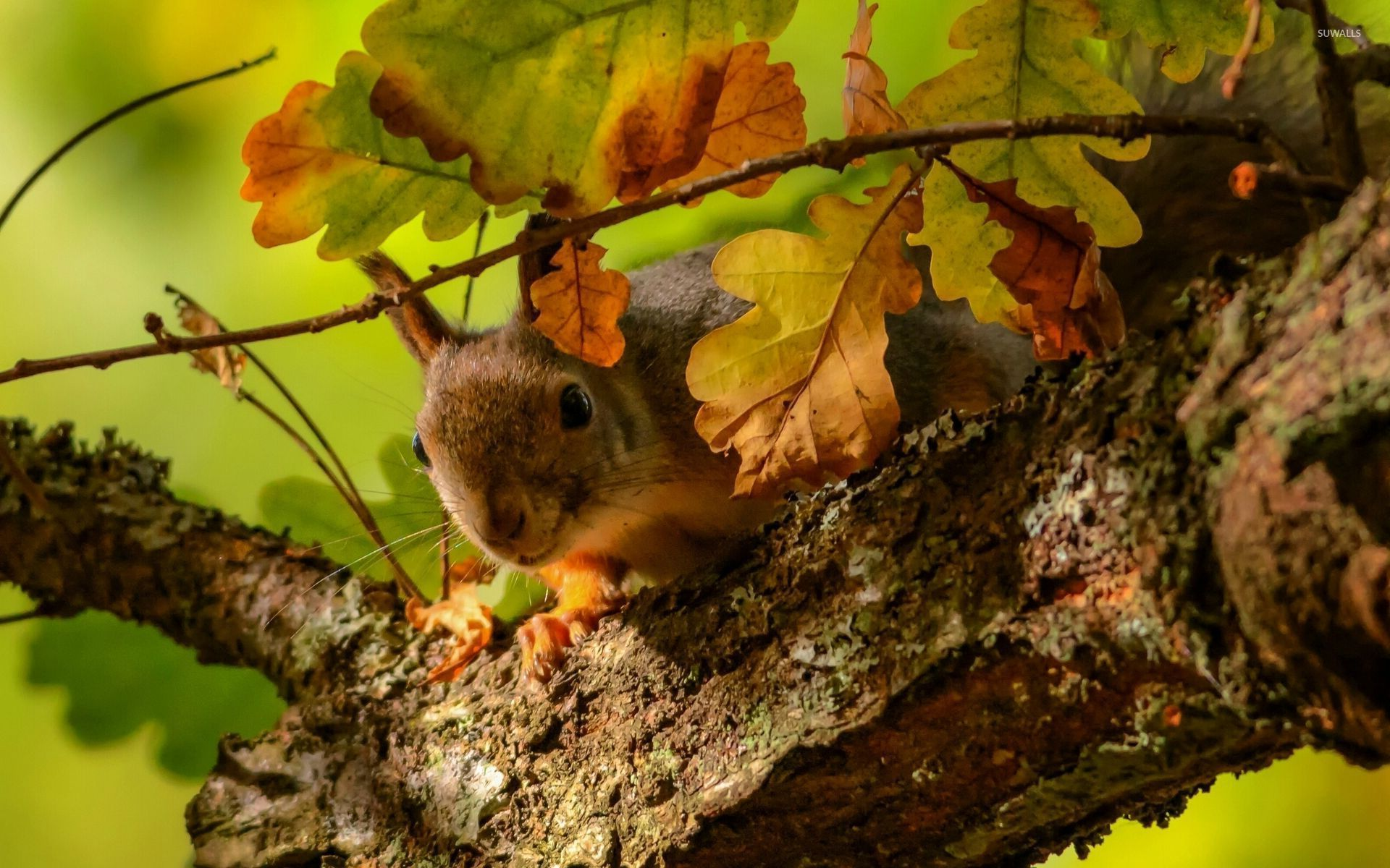 Squirrel on the oak tree wallpaper   Animal wallpapers   27553 1920x1200