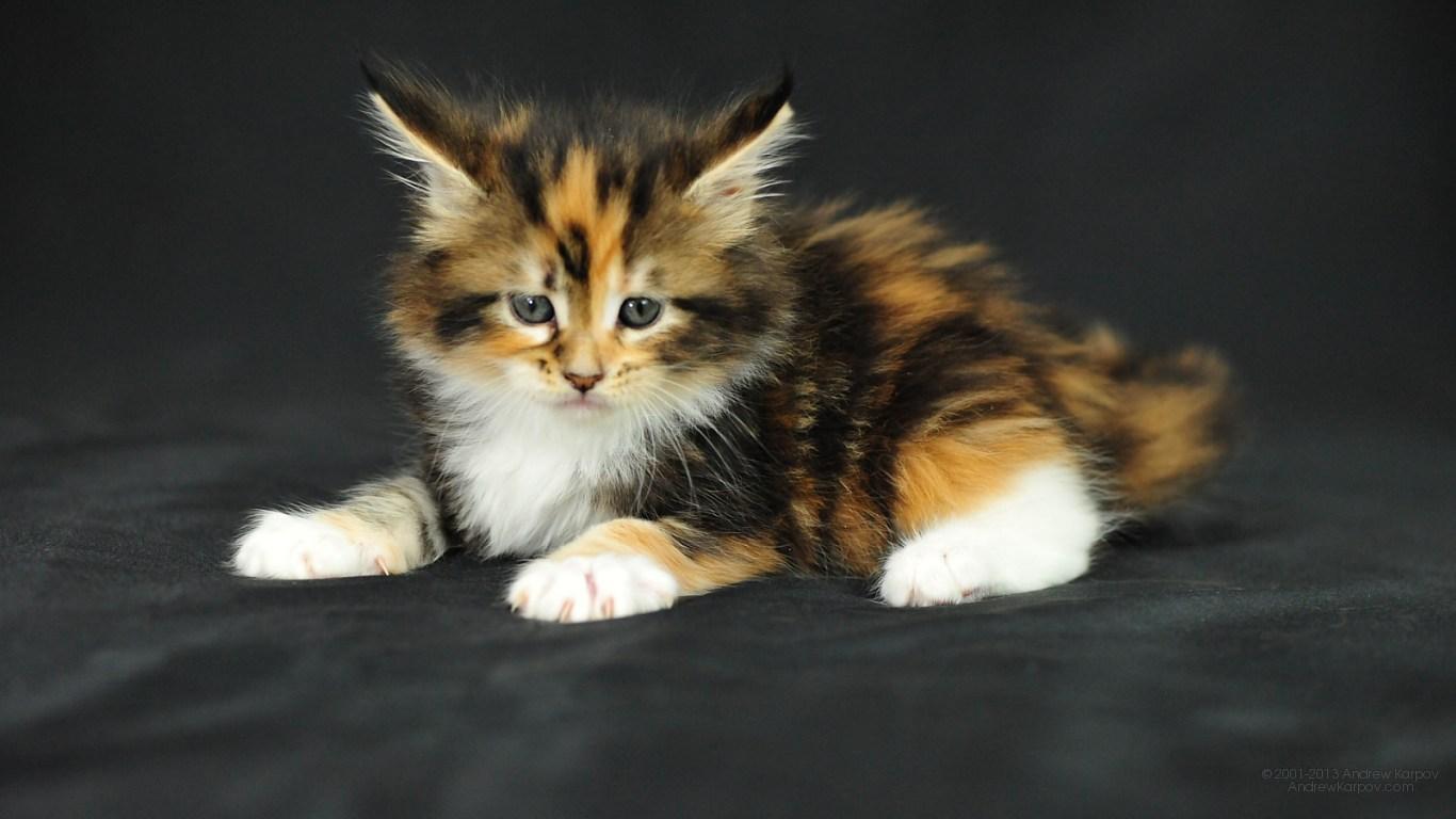 Free cat wallpaper and screensavers wallpapersafari - Free wallpaper of kittens ...