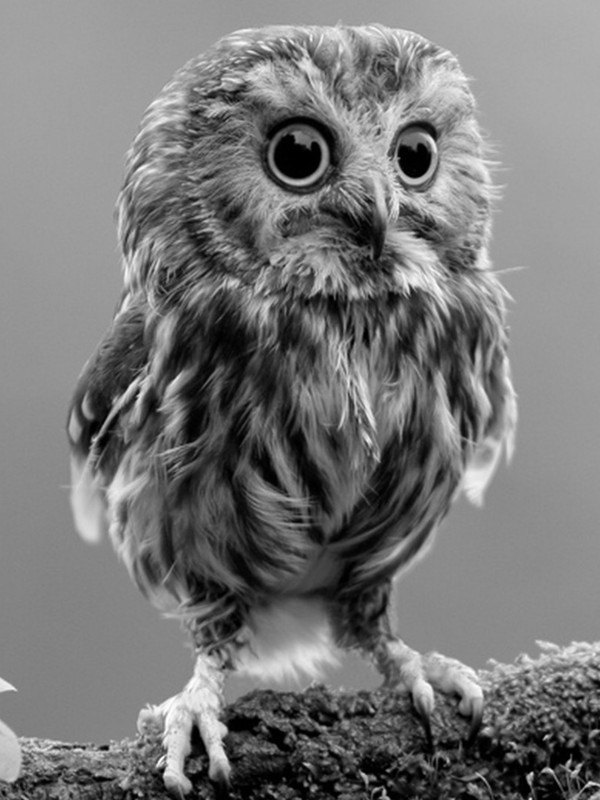 Download Cute Little Owl Screensaver For Amazon Kindle 3 600x800