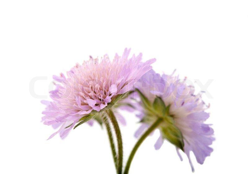 Purple Flower White Background - WallpaperSafari