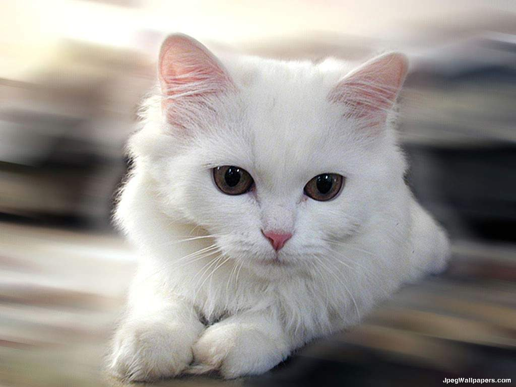 Free Download White Cat Wallpaper 1024x768 For Your Desktop Mobile Tablet Explore 74 White Cats Wallpaper Cat Desktop Wallpaper Black And White Cat Wallpaper Kittens Desktop Wallpaper