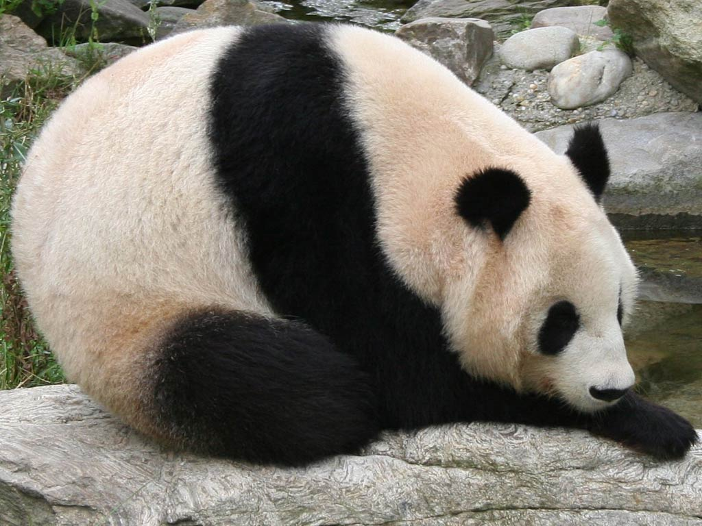 Panda   Wallpapers Pictures Pics Photos Images Desktop 1024x768