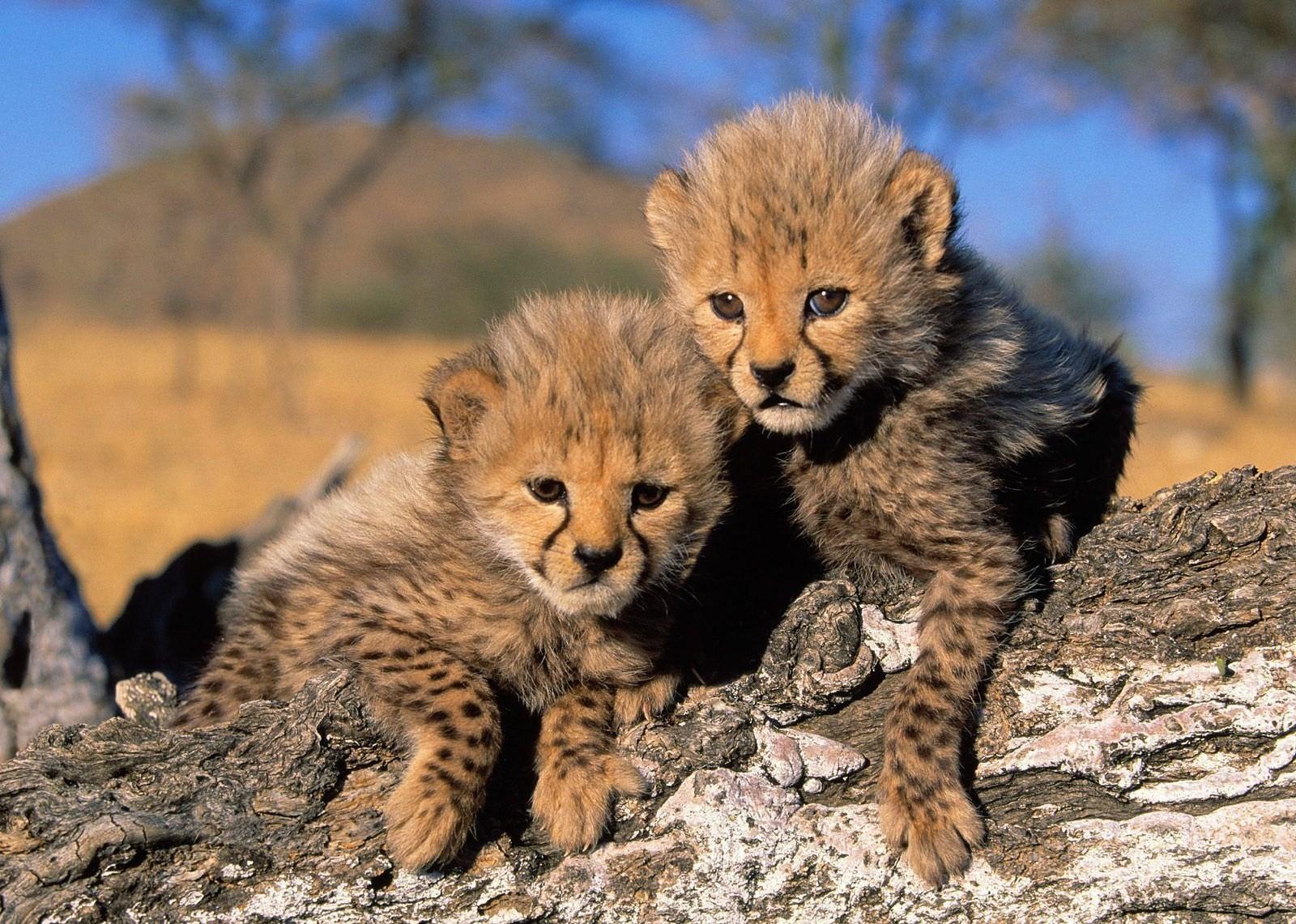 Cute cheetah wallpaper wallpapersafari edge of the plank cute animals baby cheetah cubs 1600x1141 voltagebd Image collections