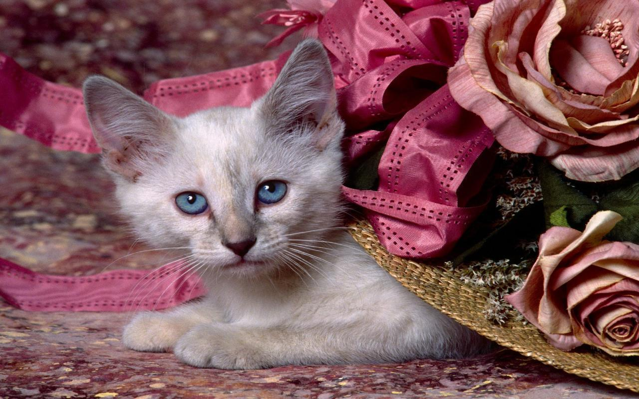 Fiza Wallpaper Beautiful Cat wallpaper 1280x800