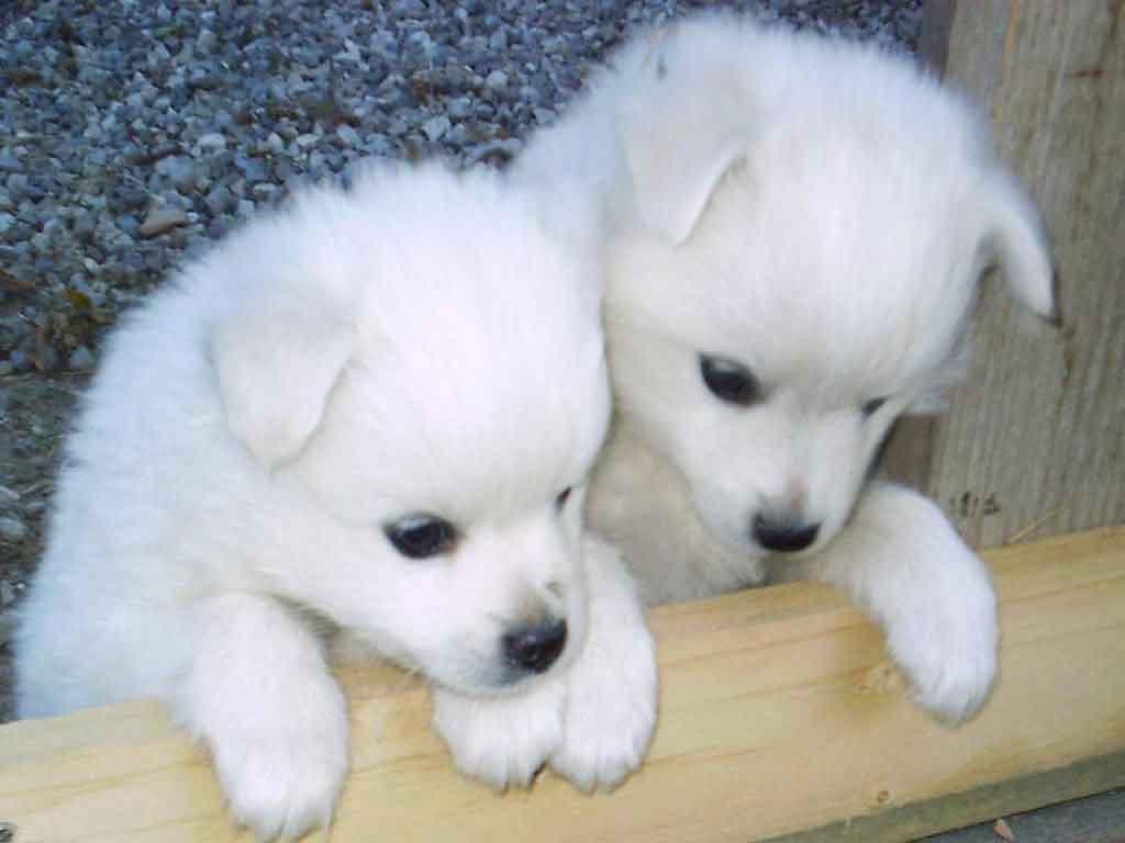 Cute Husky Puppies Wallpaper 8207 Hd Wallpapers in Animals   Imagesci 1024x768