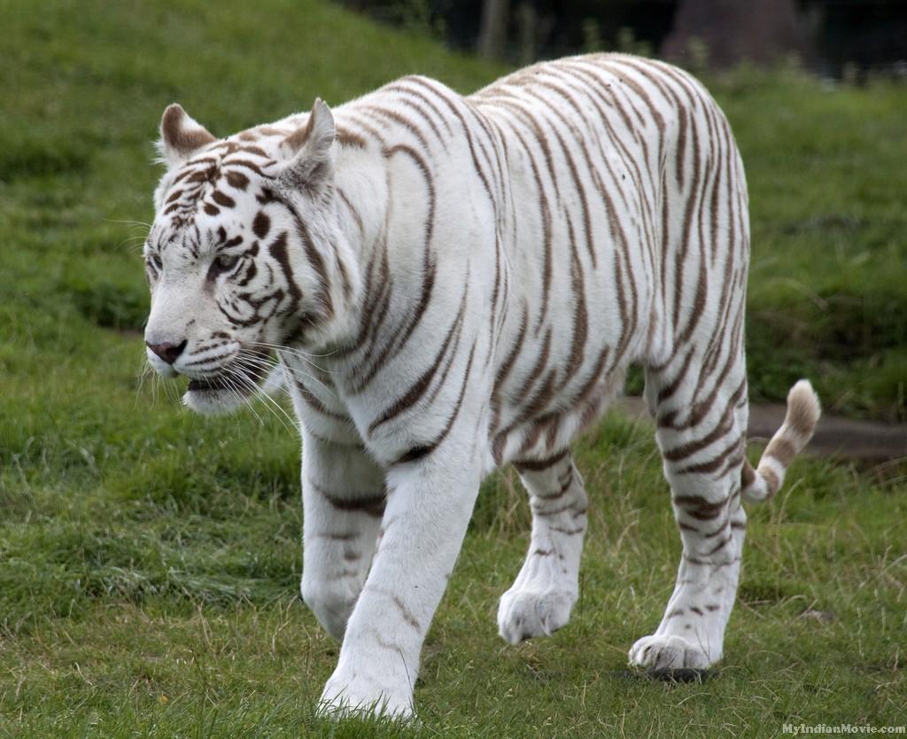 White Tiger Desktop Hd Wallpapers Photos White Tiger Desktop Hd 1024x834