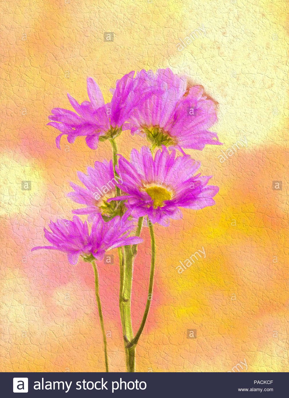 Pink Chrysanthemums or Mums against a yellow background Stock 1010x1390
