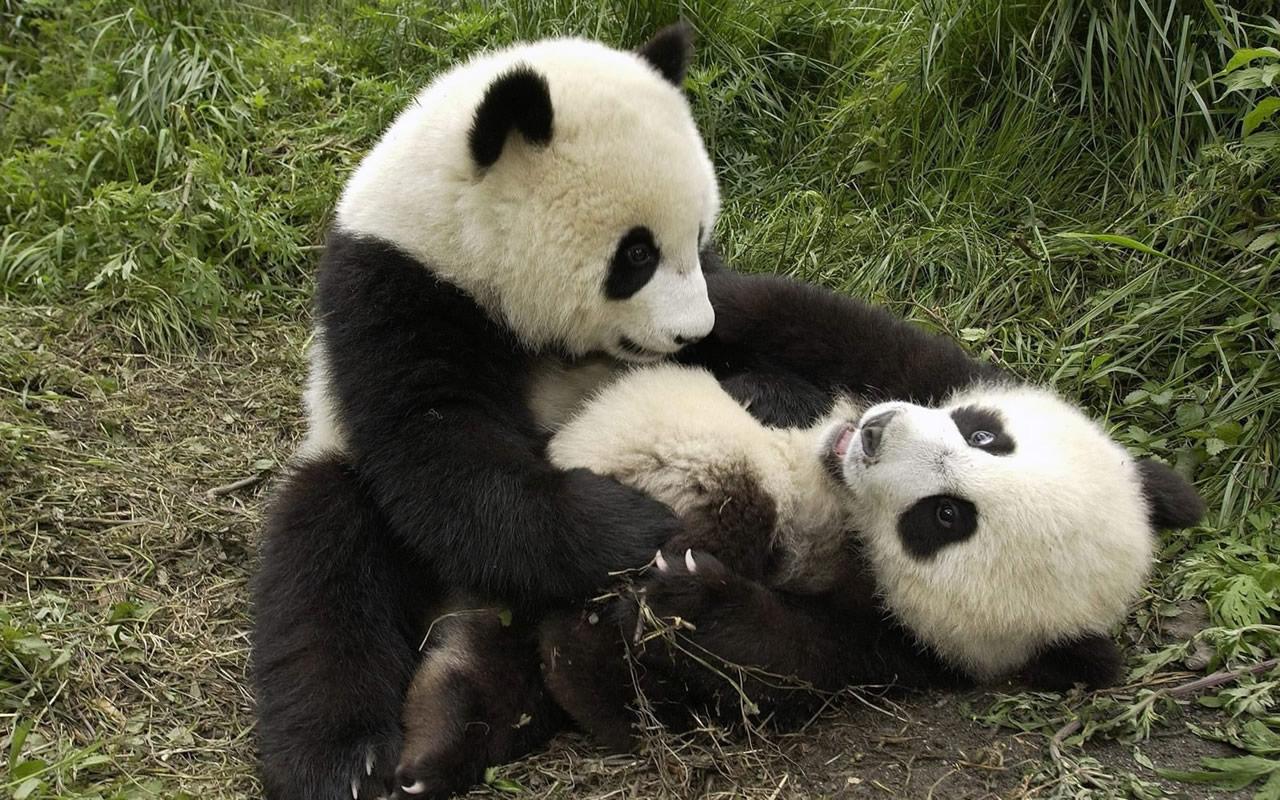 baby panda desktop wallpaper 1280x800