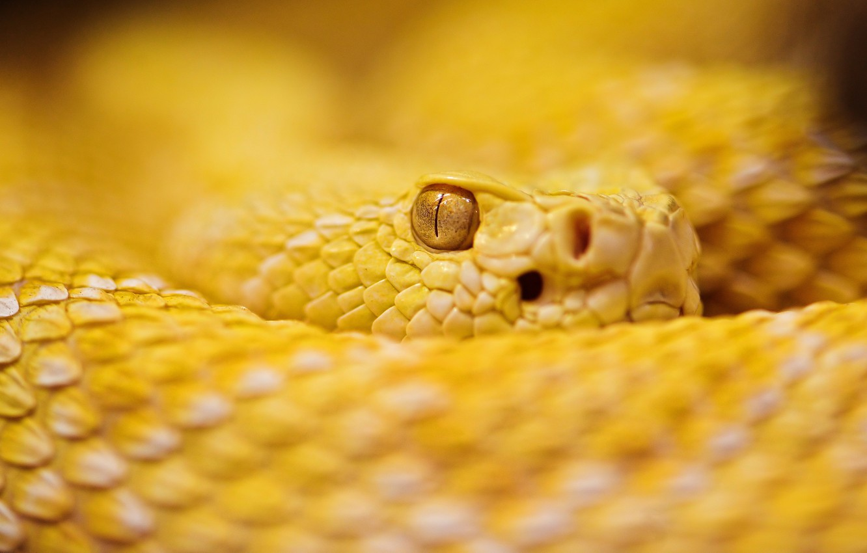 Wallpaper Snake Albino Rattle images for desktop section 1332x850