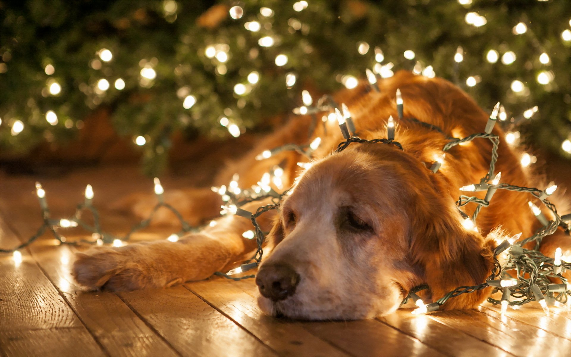 christmas new year lights bright animals dogs humor funny wallpaper 1920x1200