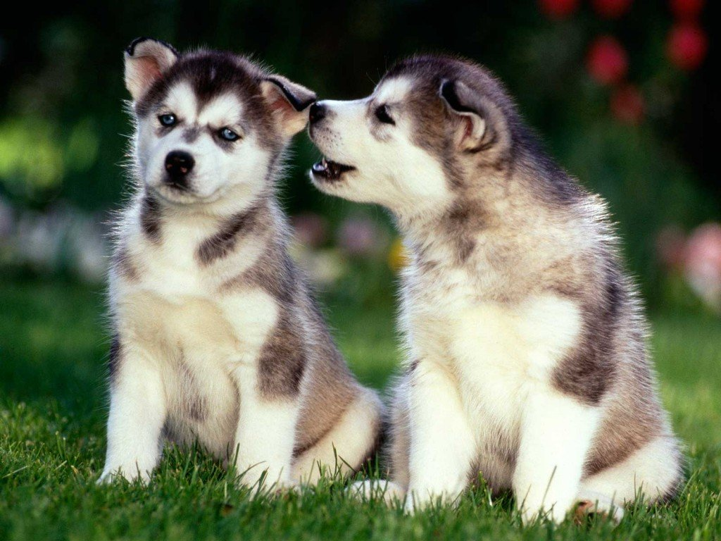 Free download Husky Puppies Wallpapers 2 1024x768 The Dog