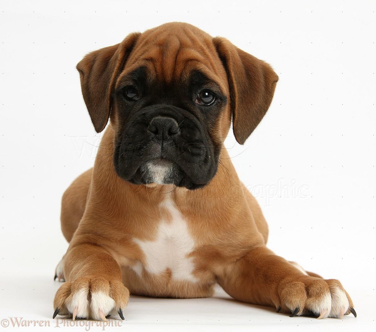 Cute Boxer Puppies Wallpaper Cute Boxer Wall...