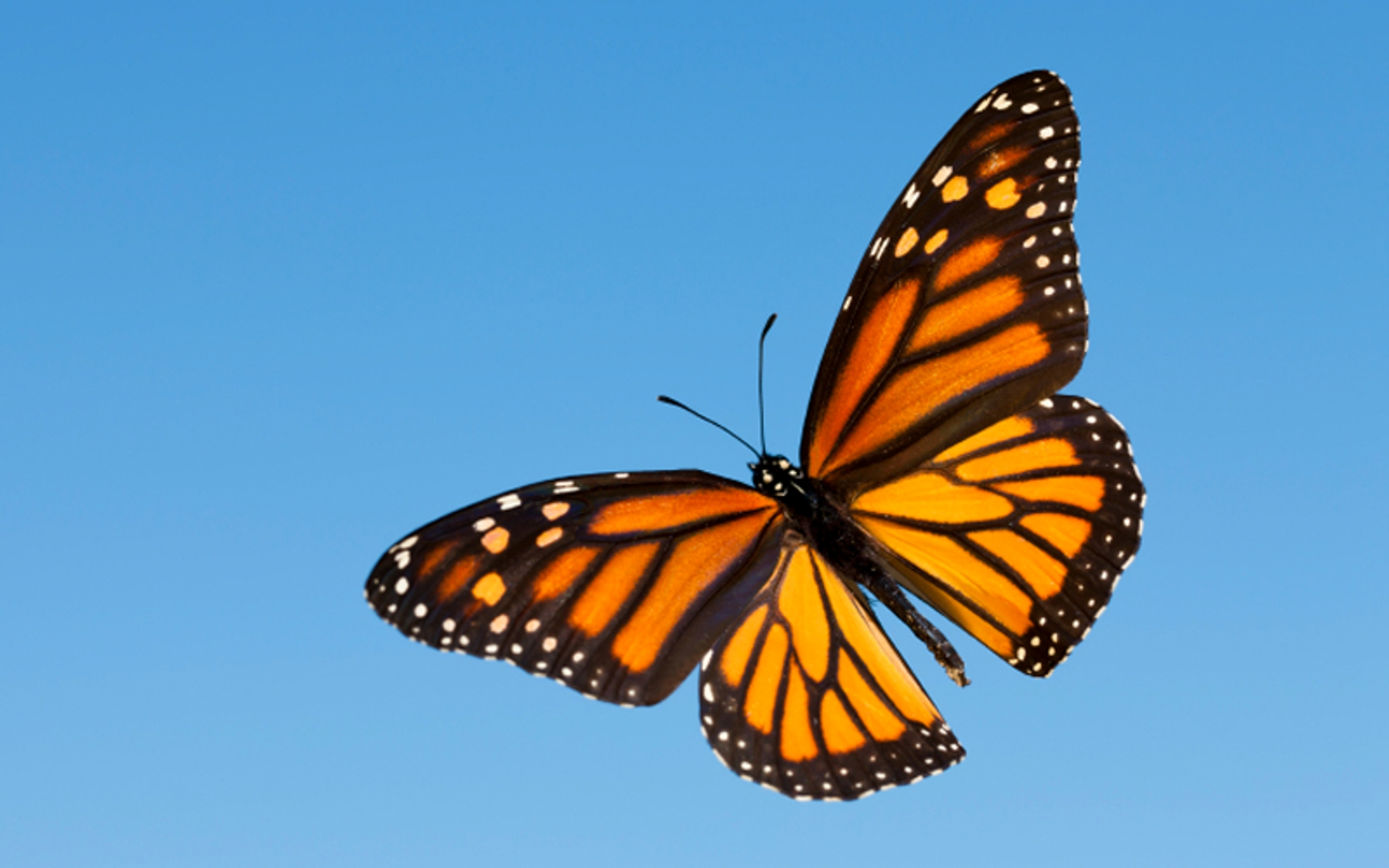 Monarch Butterfly HD Wallpaper Background Images 1920x1200