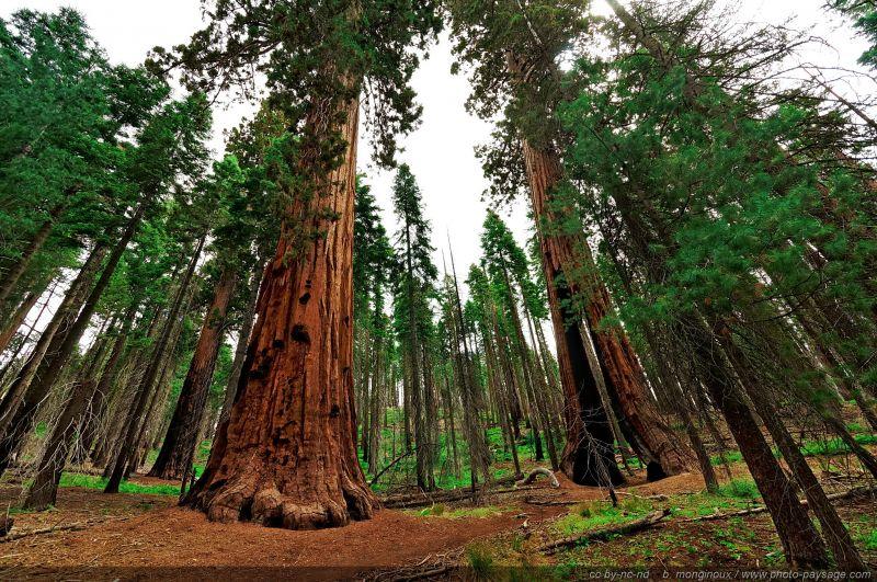 tree sequoia Yosemite Mariposa Grove   Yosemite National Park 800x531