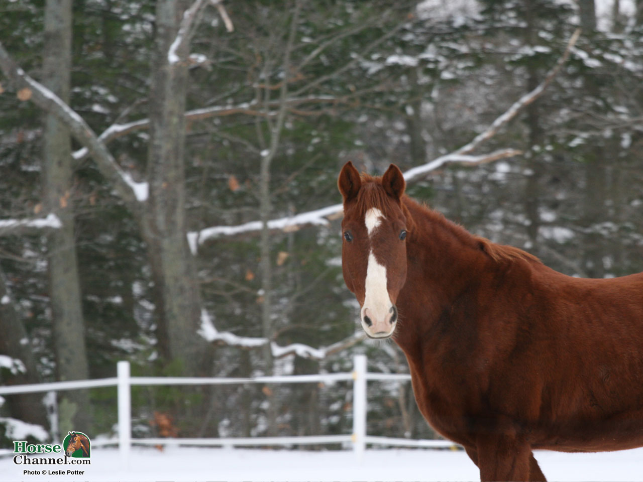 screensaver and desktop wallpapers of winter equine scenery 1280x960