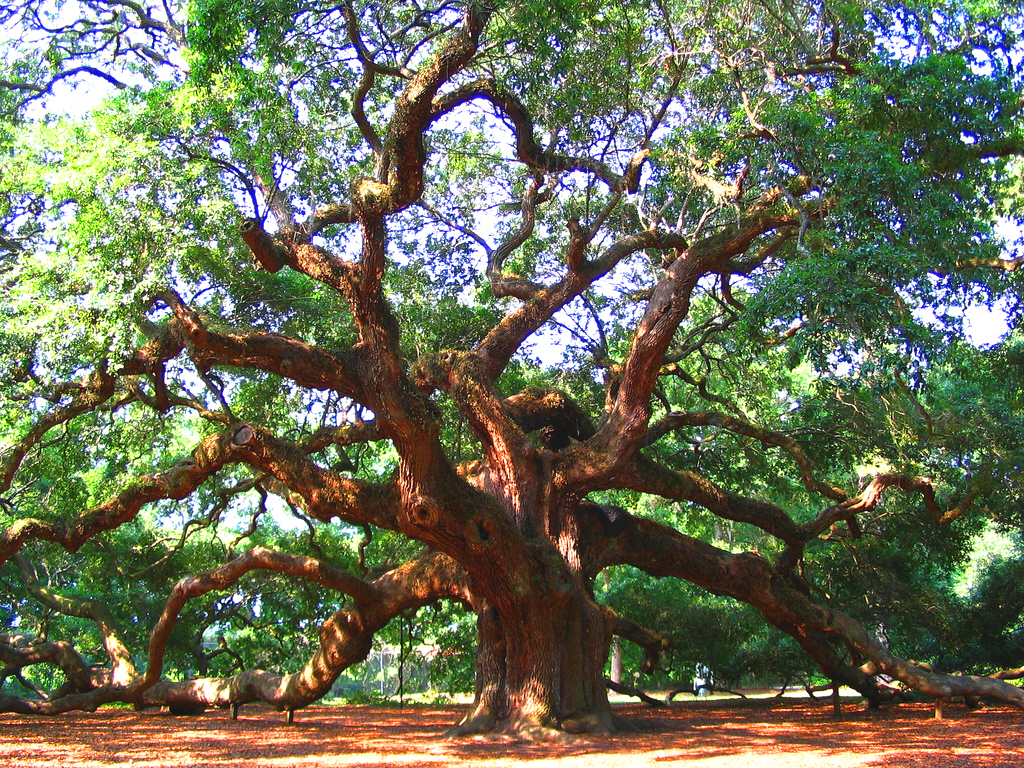 Angel Oak Tree   Charleston   South Carolina   USA Amazing Things in 1024x768
