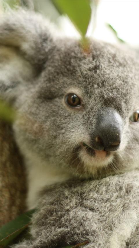 Baby Koala Wallpapers   screenshot 480x854