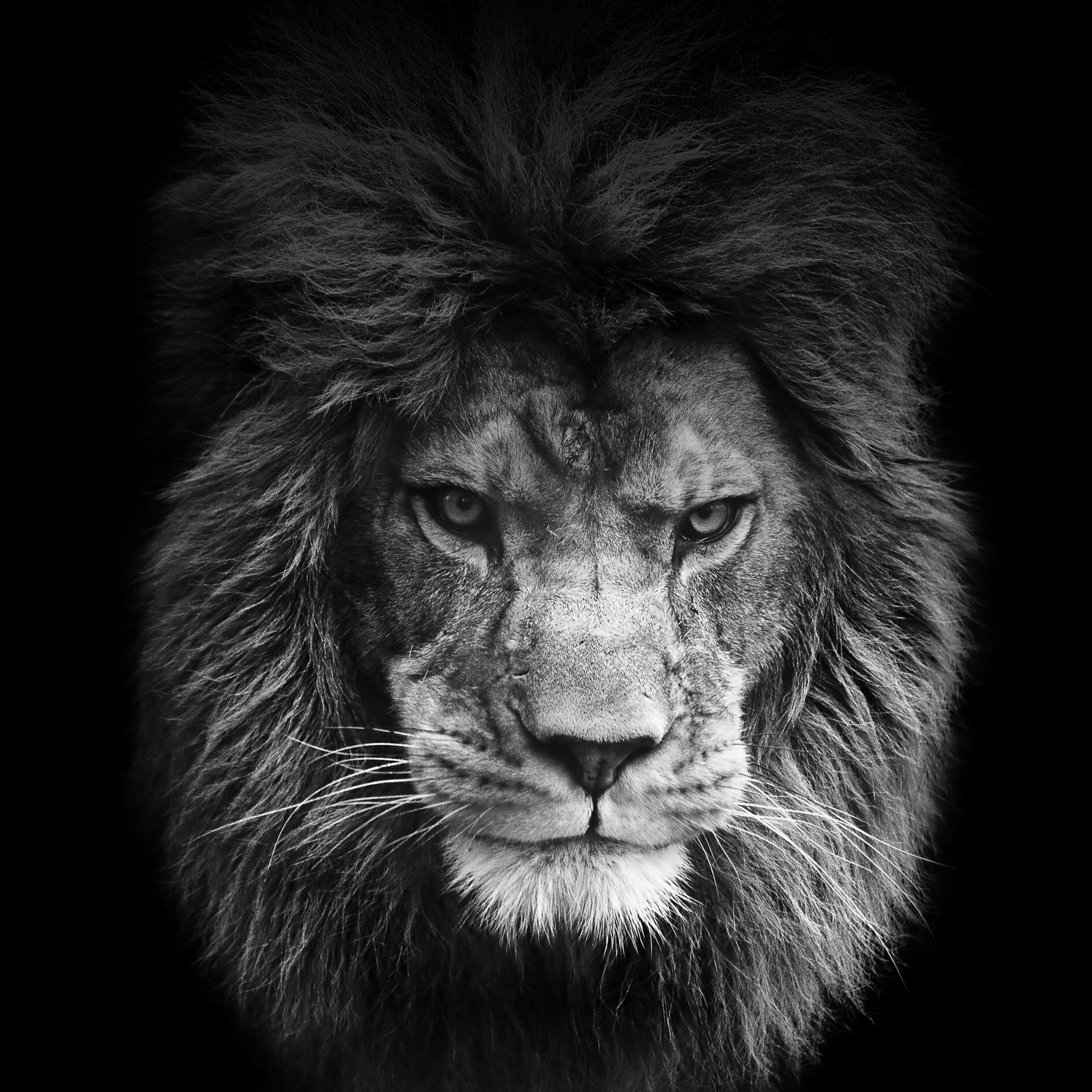 FREEIOS7 legendary lion   parallax HD iPhone iPad wallpaper 2048x2048