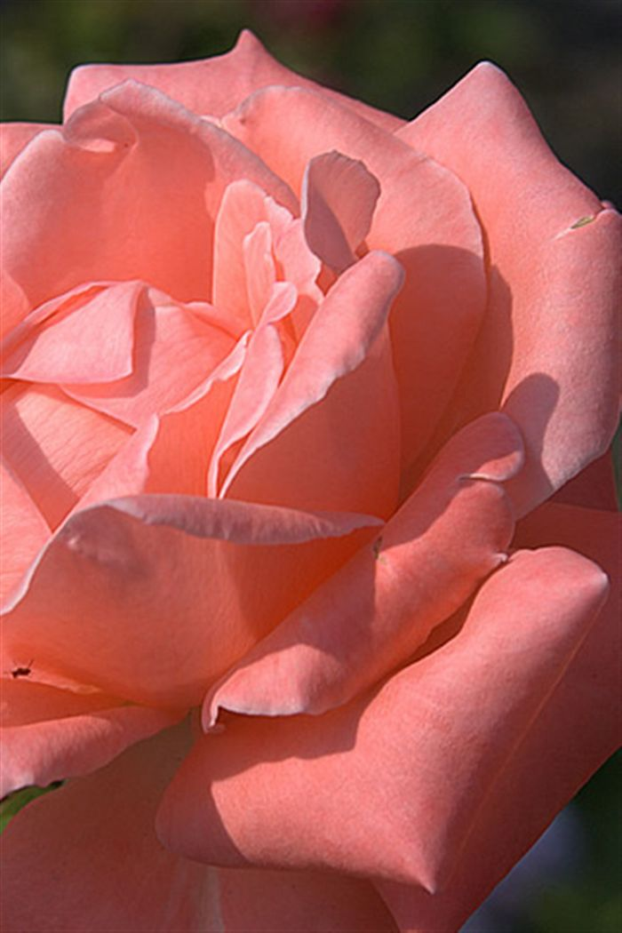 iphone pink rose wallpaper Photo download Full High resolution 700x1050