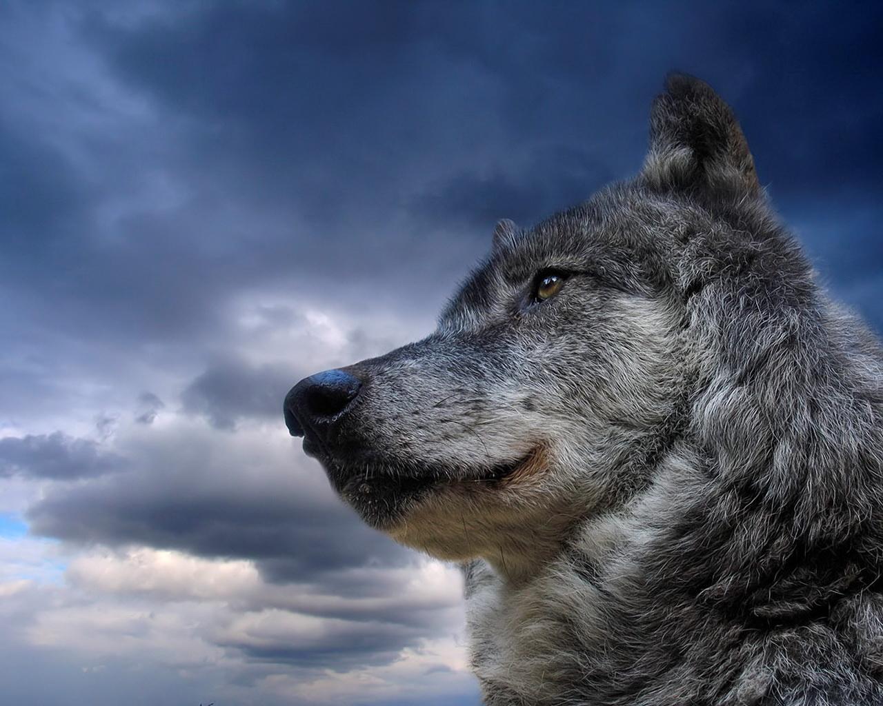 Portrait of a Wolf in Front of a Cloudy Sky desktop wallpaper 1280x1024