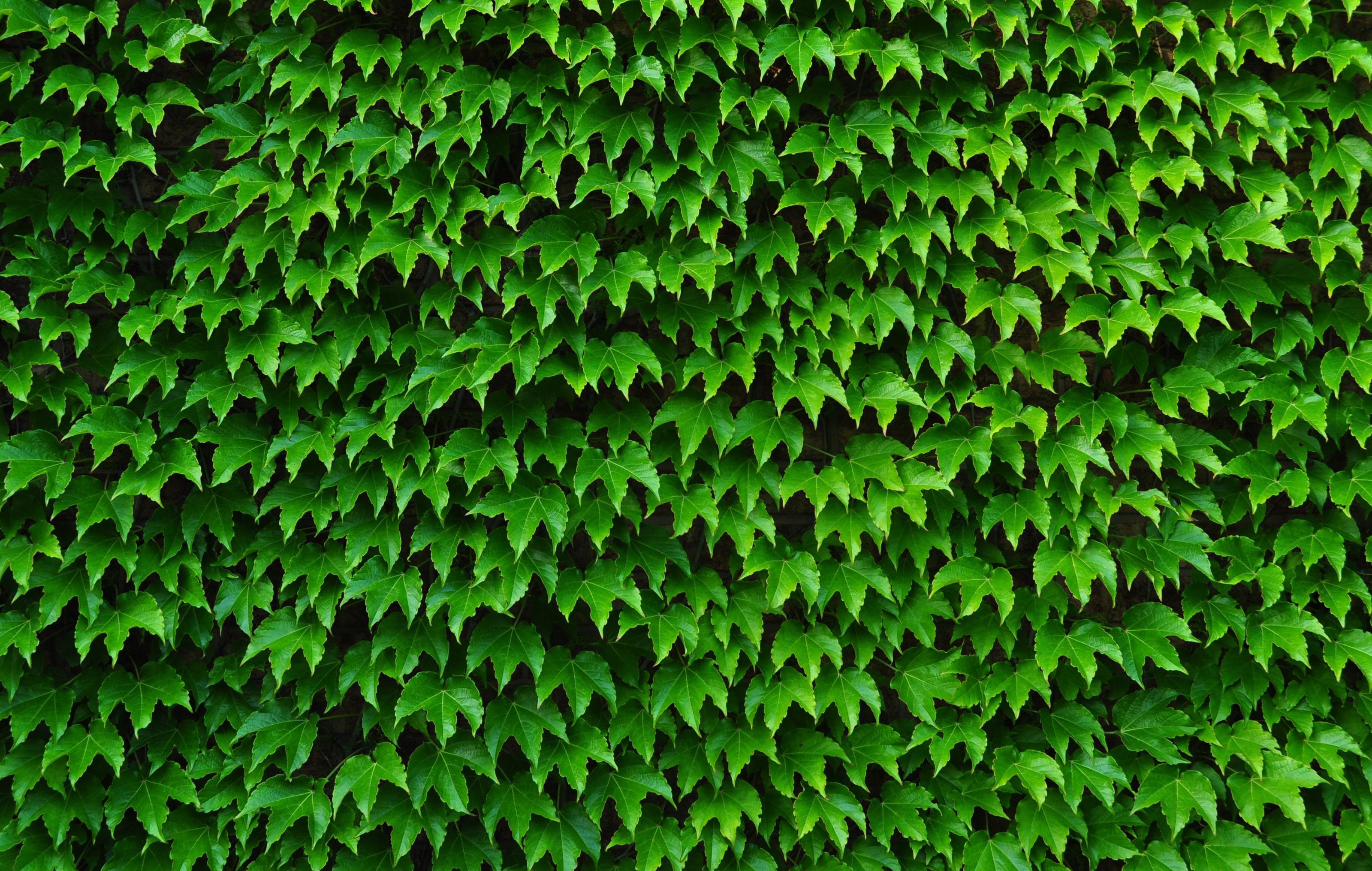 Free Download Ivy Wallpaper 3199x2031 For Your Desktop