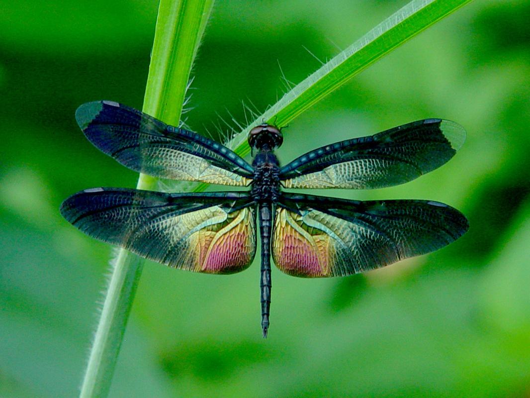 Colorful Dragonfly Wallpaper Desktop Background 1066x800