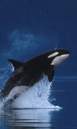 Orca Whale Wallpaper Whale killer hd liv wallpapers 307x512
