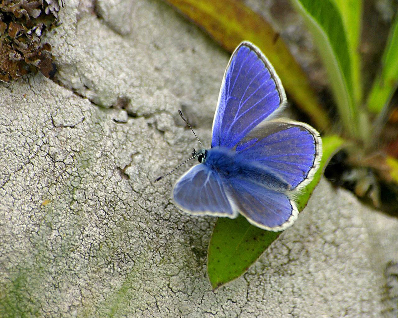 Wallpapers Background Butterfly Hd Wallpaper Butterfly 1280x1024