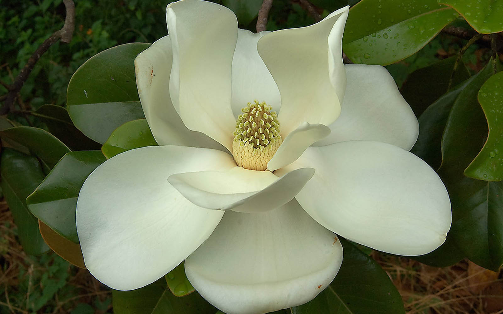 Magnolia Flower Wallpaper Wallpapersafari