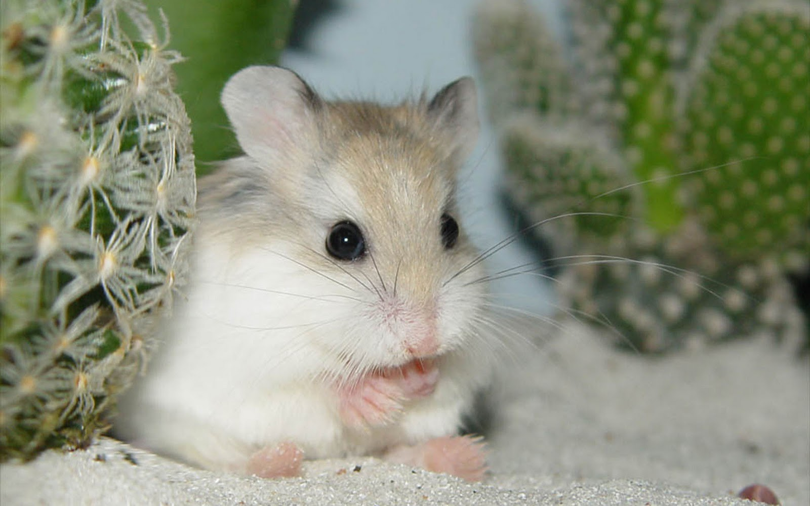 Hamsters achtergronden dieren hd hamster wallpapers foto 5jpg 1600x1000