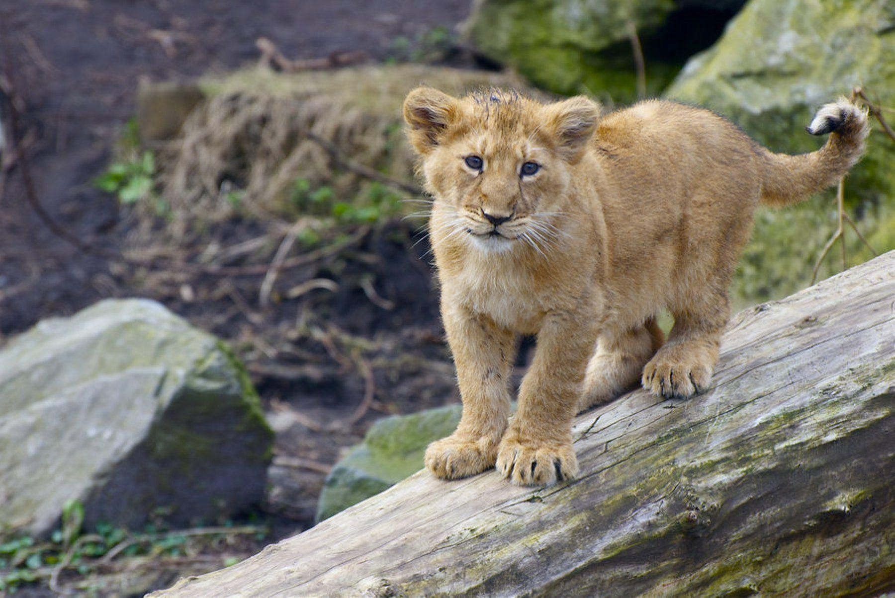 Lion Cub Wallpapers 1800x1204