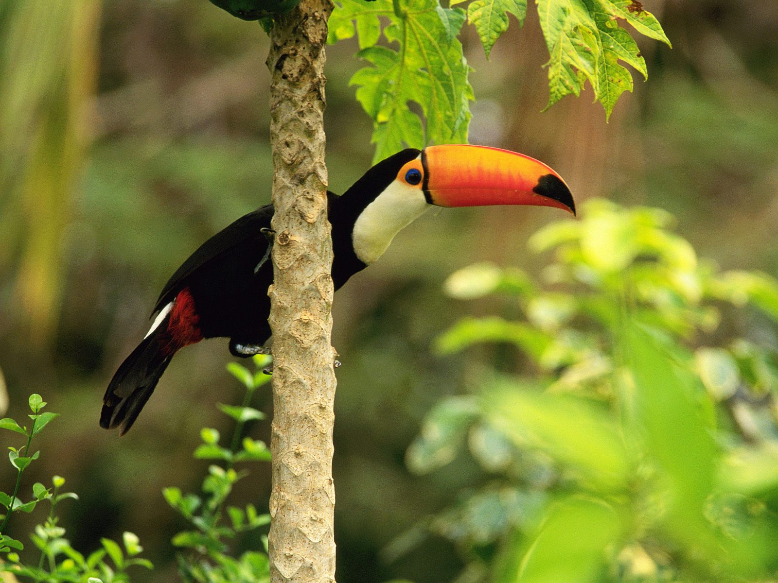 Toco Toucan in the Tropical Forest Wallpapers HD Wallpapers 1600x1200