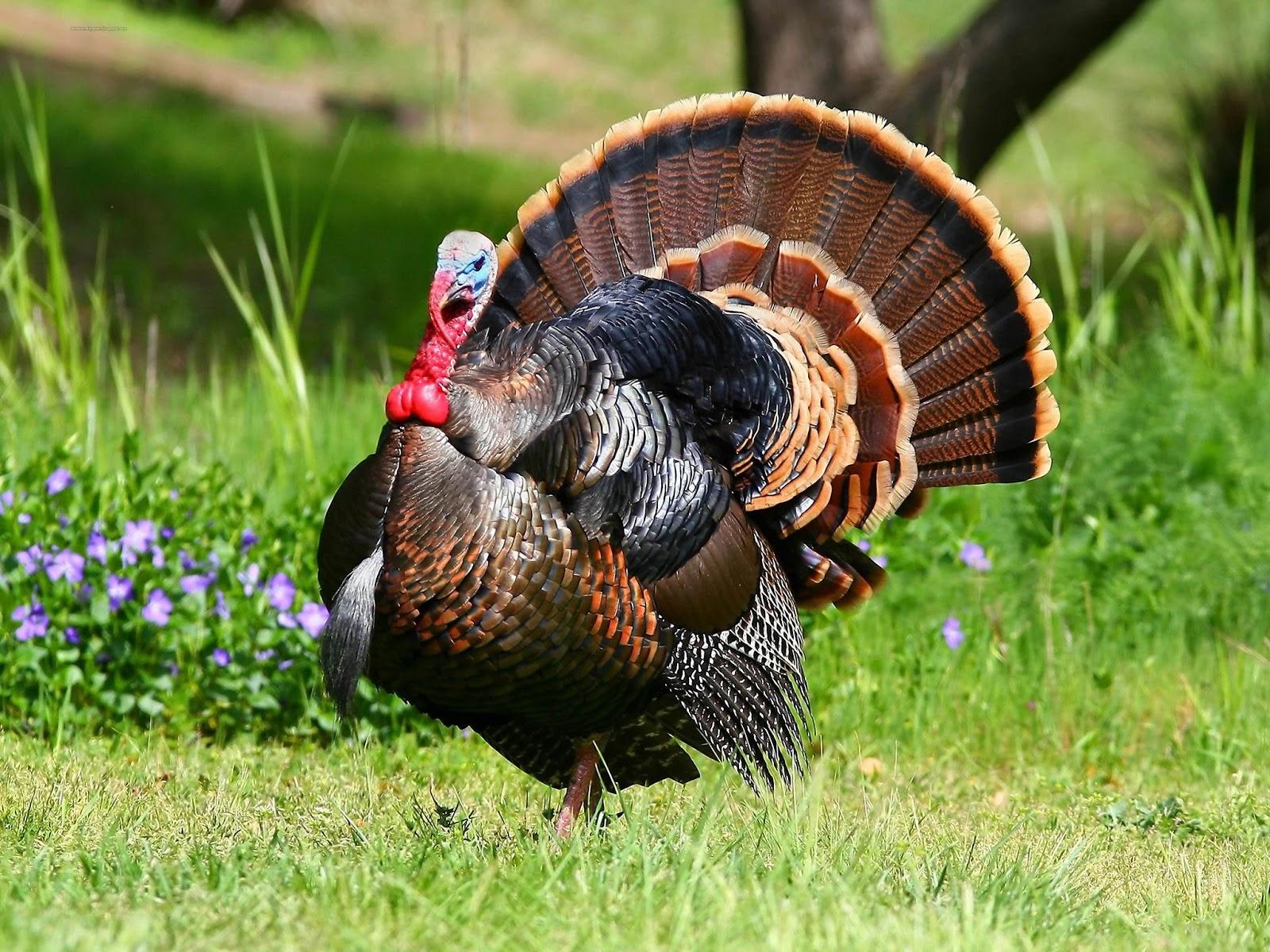 alex norie gasketch blog Turkey bird wallpapers hd 1600x1200