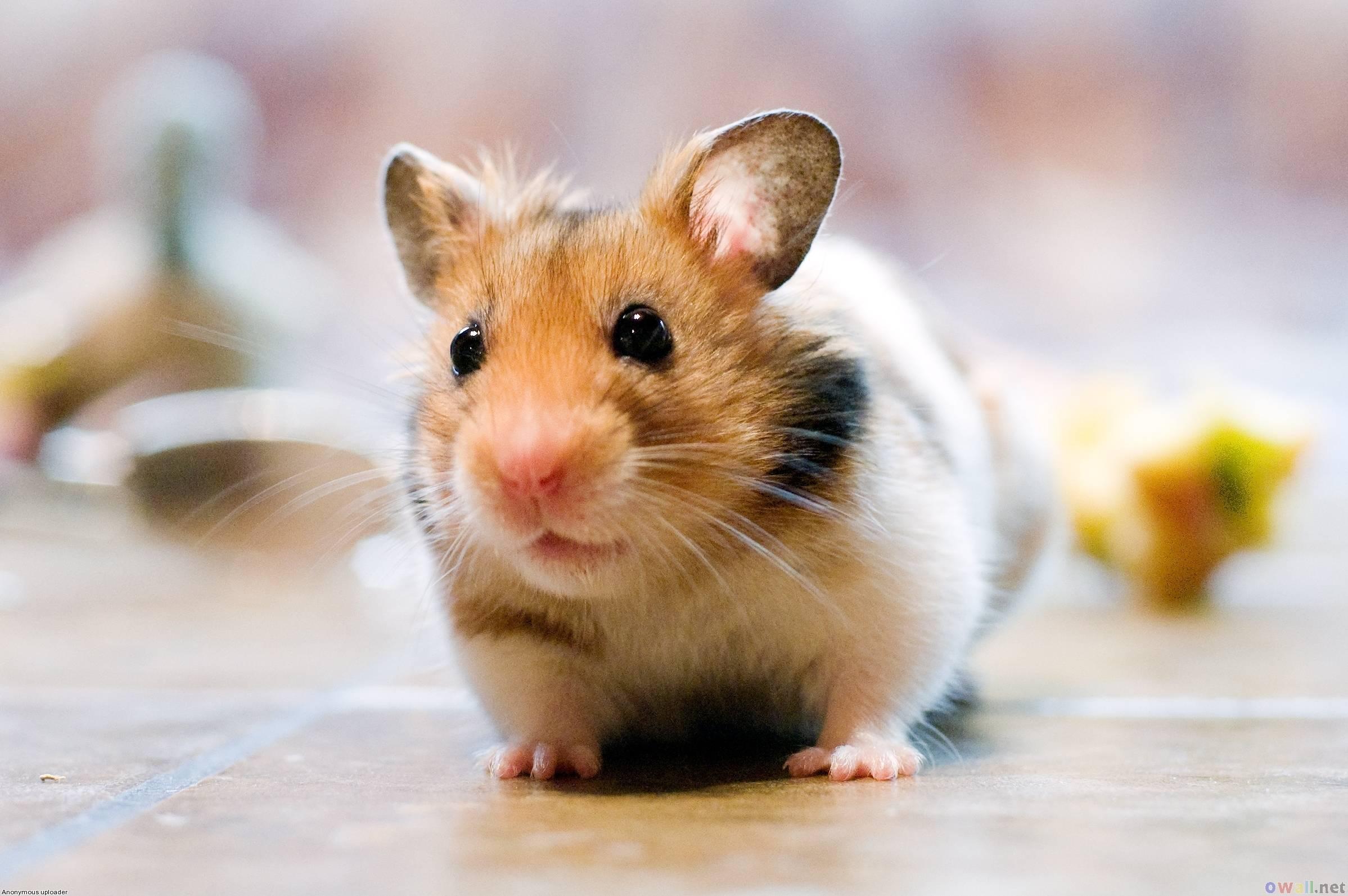 Cute Hamster Wallpapers 2397x1593