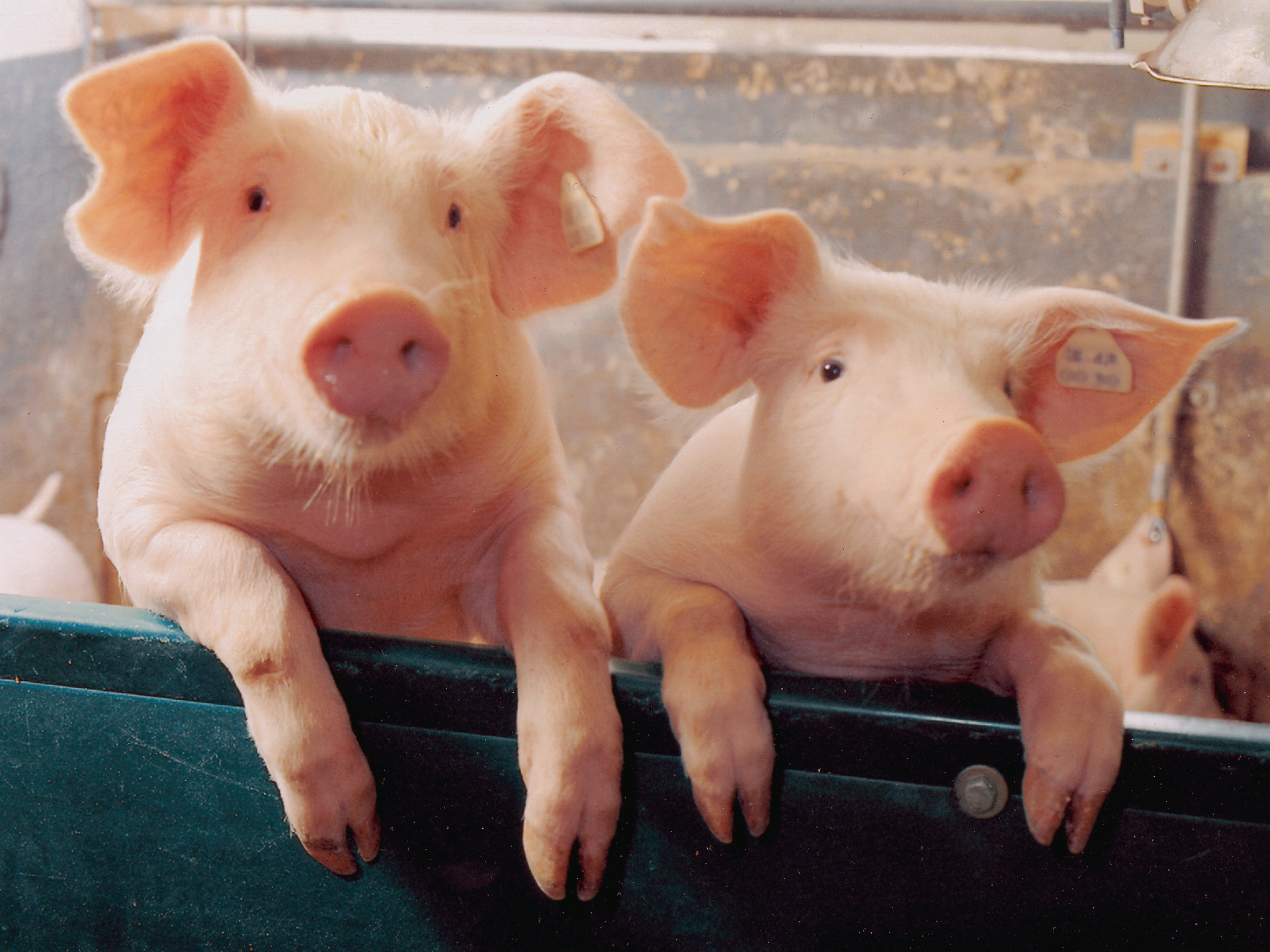 Two little Piggies   Pigs Wallpaper 1078267 1920x1440