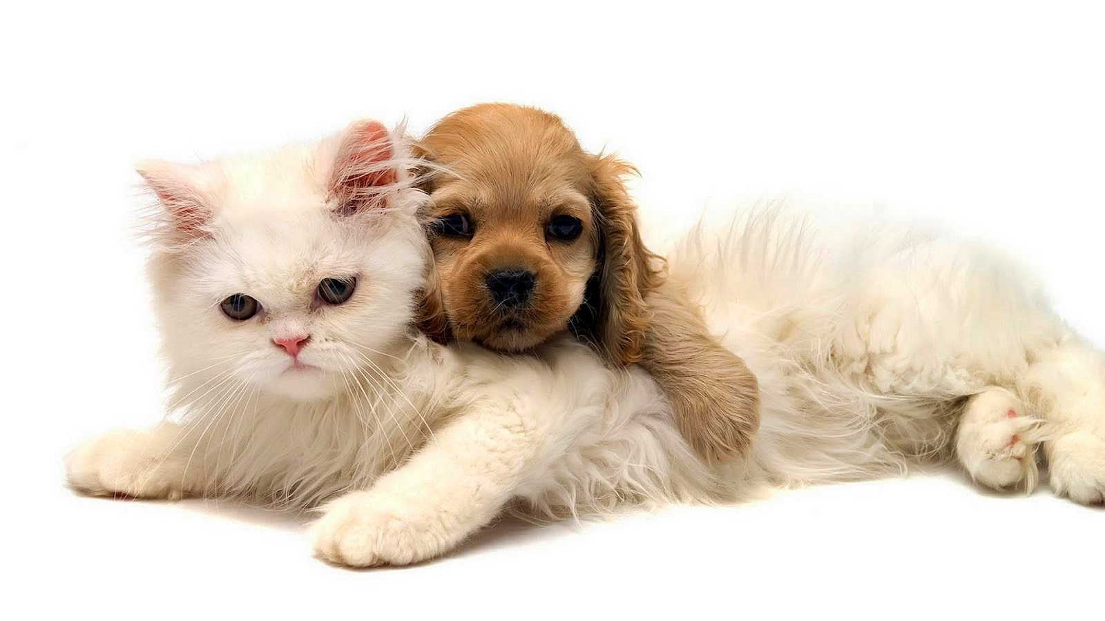 HD animal wallpaper of a cat and dog cuddling Cat and dog wallpaper 1600x900