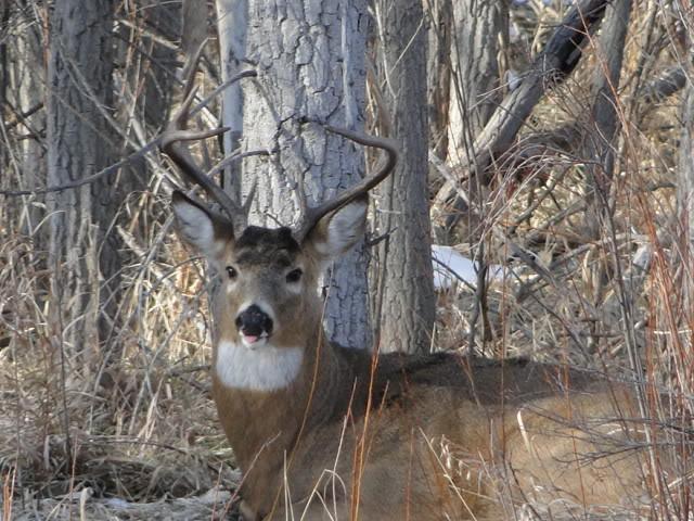 whitetail wallpaper Colorado Whitetail Deer Image 640x480
