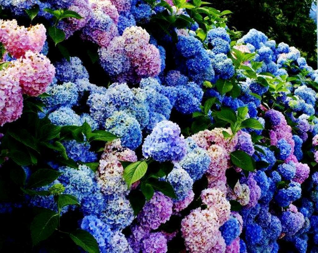 Hortensia flower wallpaper