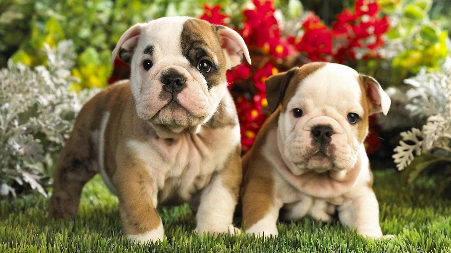 cute puppies wallpaper   8512   The Wondrous Pics 1517x853