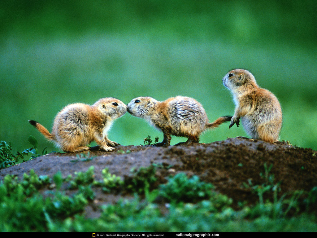 wallpaper National Geographic Animal Wallpaper Download 1024x768