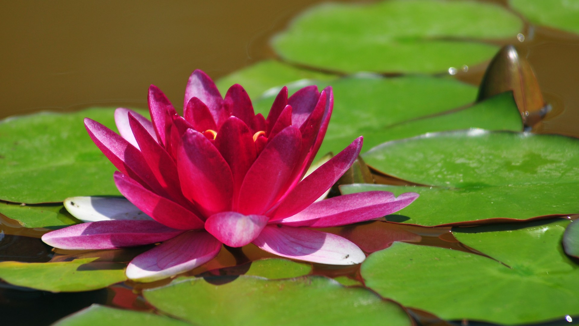 Free Download Pink Lotus Flower Hd Wallpapers Pink Lotus Flower Images, Photos, Reviews