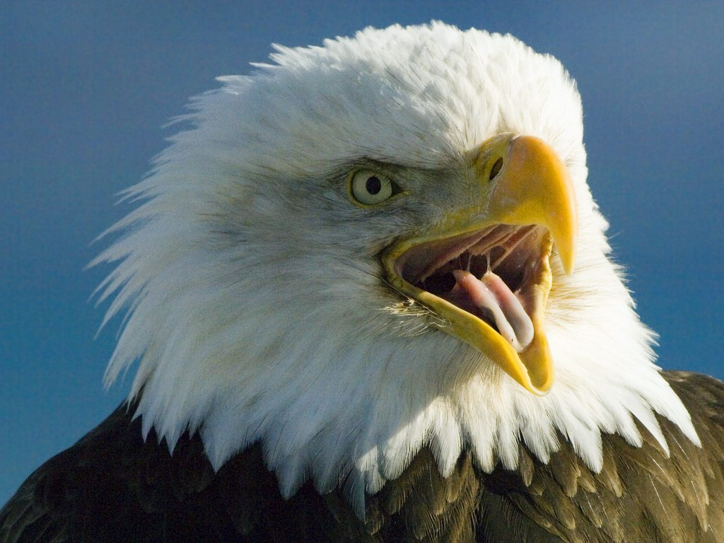 Wallpaper Collections bald eagle backgrounds 1024x768