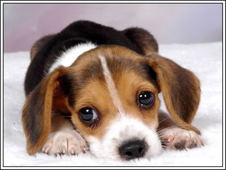 Cute Beagle Puppies Desktop Wallpaper Dogs Cute Wallpaper 1360x1020
