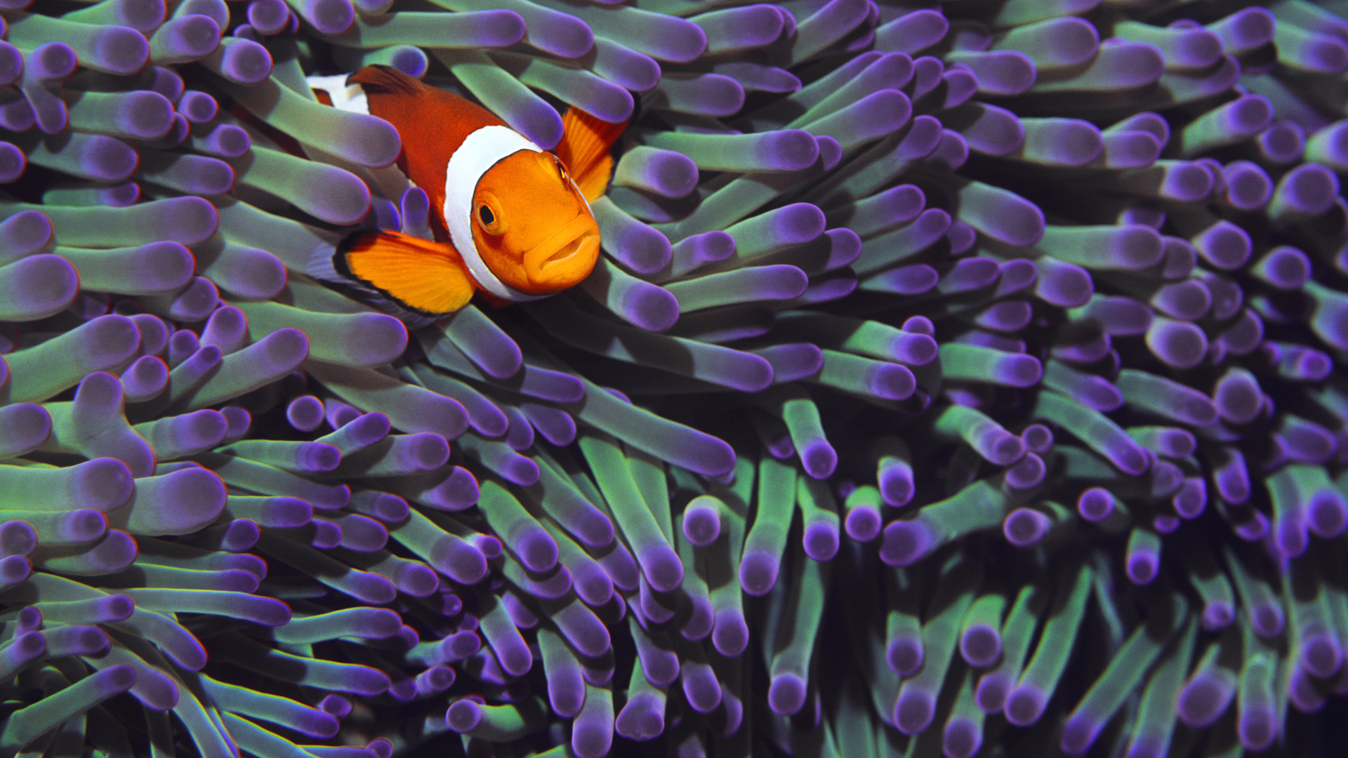 Clown Fish Wallpapers HD Wallpapers Early 1920x1080