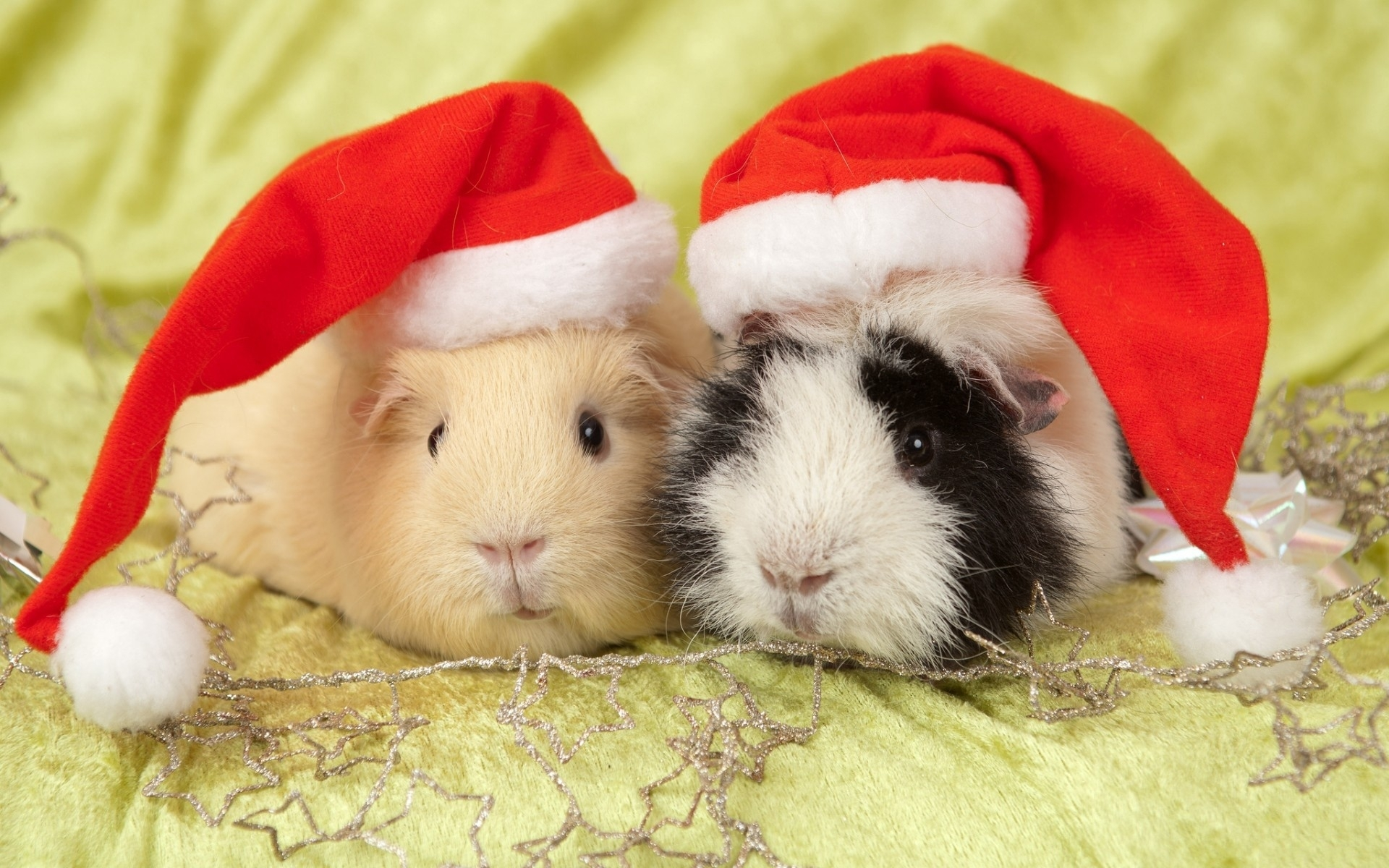 Cute Animal Pets Guinea Pigs wallpaper HD Wallpaper 1920x1200